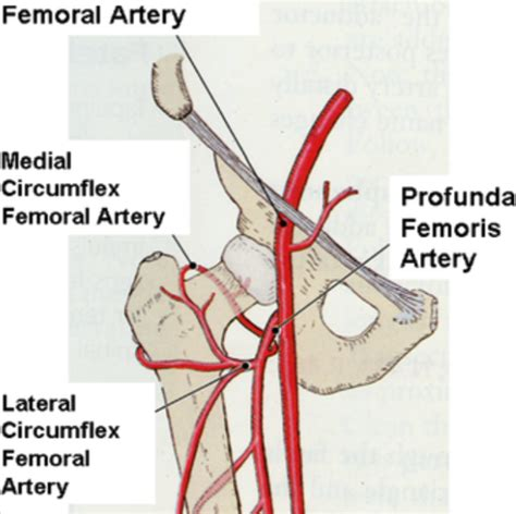 GSU Blood Vessels of the Lower Limb Flashcards   Easy
