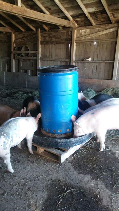 Happy pigs with the new automatic feeder