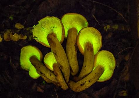 Hunting Mushrooms, and What Makes Some Glow in the Dark