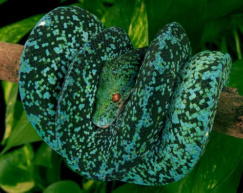 Tree Python coloring, Download Tree Python coloring for
