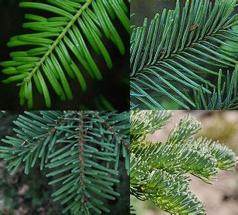 Northwest Conifer Connections: Focus on Firs