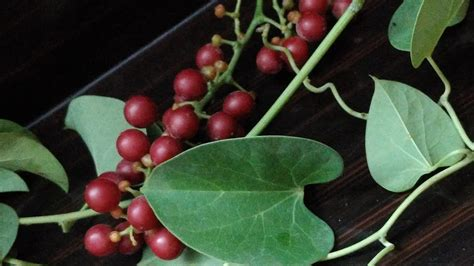 indian heart-leaved moonseed or guduchi or giloy uses