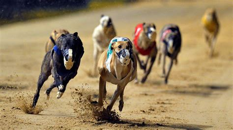 Let voters be heard on deadly dog races | Editorial - Sun