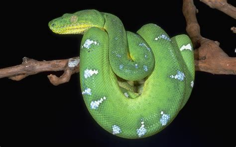 2 Emerald Tree Boa HD Wallpapers   Background Images