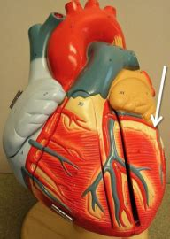 A&P 2 Lab Practical 1 (blood and the heart) - Allied