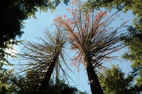 Fir, Douglas and True-Armillaria Root Rot | Pacific