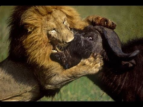 Life of Lions - Hunting, Fighting & Mating [Full