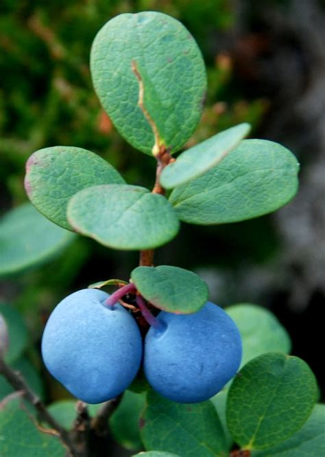 17 Best images about fruits & berries on Pinterest   The