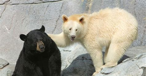 Can You Name These Different Species Of Bears?   Playbuzz